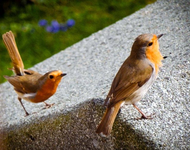 fussy robins